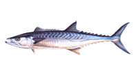 Mackerel, King