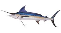 Marlin, Blue