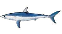 Shark, Mako