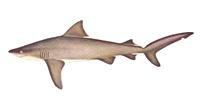 Shark, Other