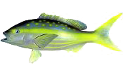 Snapper, Yellowtail