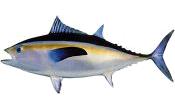 Tuna, Blackfin